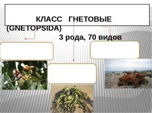КЛАСС ГНЕТОВЫЕ (GNEТOPSIDA) 3 рода, 70 видов Семейство ГНЕТОВЫЕ 1 род, 30 ви