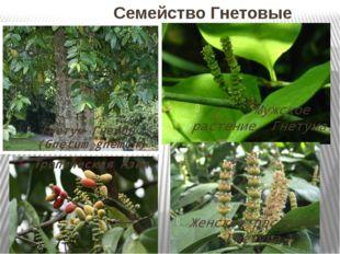Семейство Гнетовые Гнетум Гнемон (Gnetum gnemon) Тропическая Азия Мужское ра