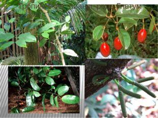 Тропические лианы рода Гнетум