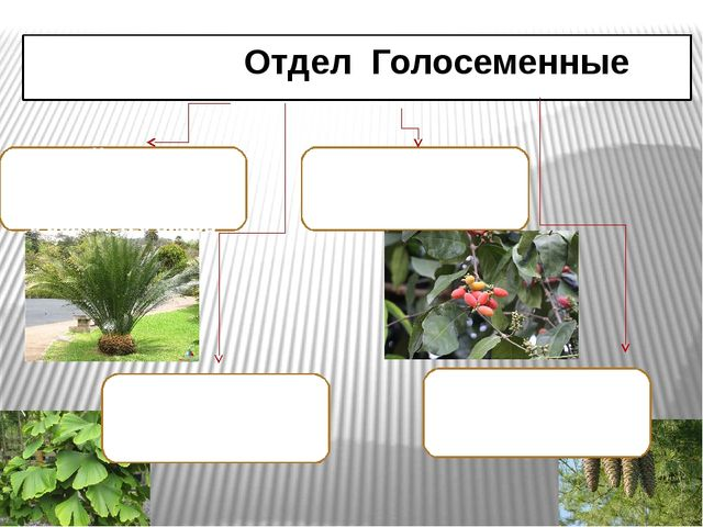 Отдел Голосеменные Класс ГНЕТОВЫЕ (GNEТОPSIDA) 3 рода, 70 видов Класс САГОВН...