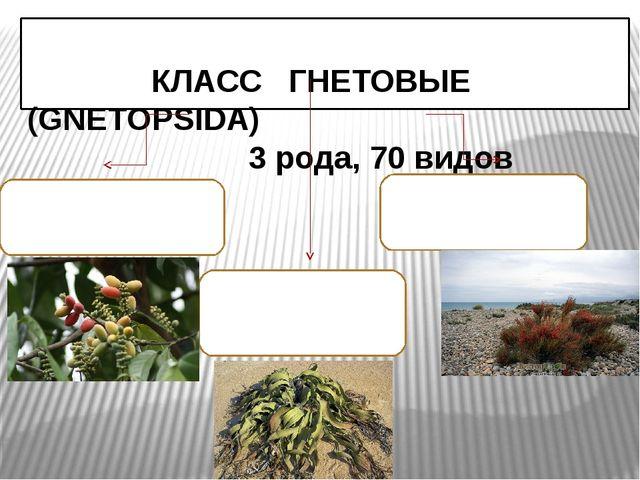 КЛАСС ГНЕТОВЫЕ (GNEТOPSIDA) 3 рода, 70 видов Семейство ГНЕТОВЫЕ 1 род, 30 ви...