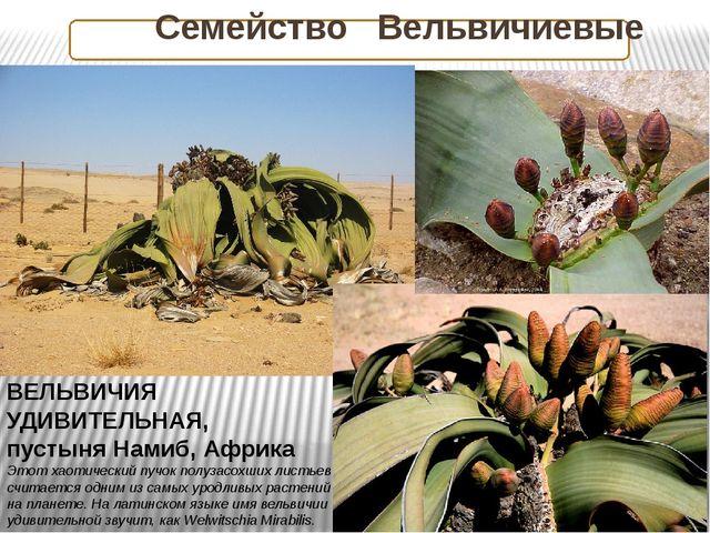 Семейство Вельвичиевые ВЕЛЬВИЧИЯ УДИВИТЕЛЬНАЯ, пустыня Намиб, Африка Этот ха...