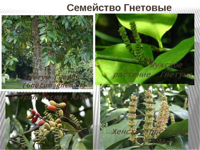 Семейство Гнетовые Гнетум Гнемон (Gnetum gnemon) Тропическая Азия Мужское ра...