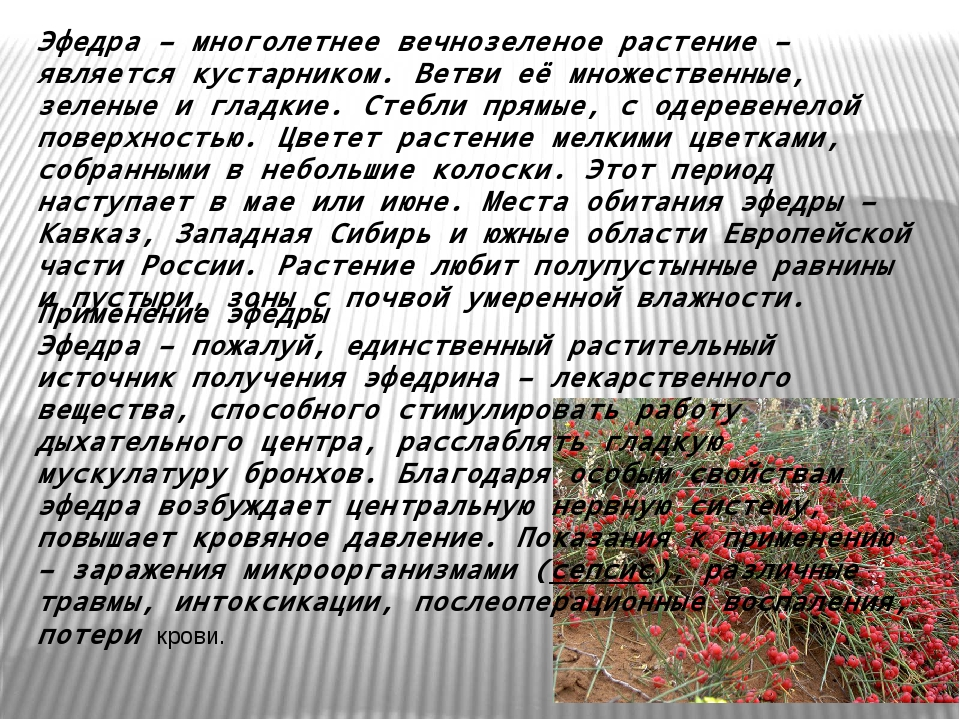 Эфедра– многолетнее вечнозеленое растение – является кустарником. Ветви её м...