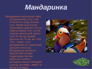 Мандаринка Мандаринка-небольшая, ярко раскрашенная утка. Она относится к роду