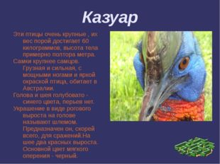 Казуар Эти птицы очень крупные , их вес порой достигает 60 килограммов, высот