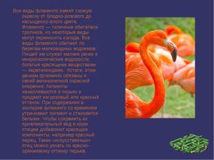 Все виды фламинго имеют схожую окраску от бледно-розового до насыщенно-алого