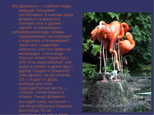 Все фламинго — стайные птицы, живущие большими скоплениями. В поисках пищи фл