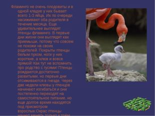 Фламинго не очень плодовиты и в одной кладке у них бывает всего 1-3 яйца. Их