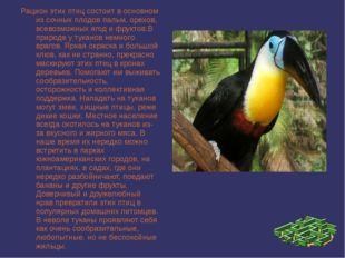 Рацион этих птиц состоит в основном из сочных плодов пальм, орехов, всевозмож