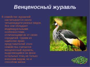 Венценосный журавль В семействе журавлей насчитывается около четырнадцати раз