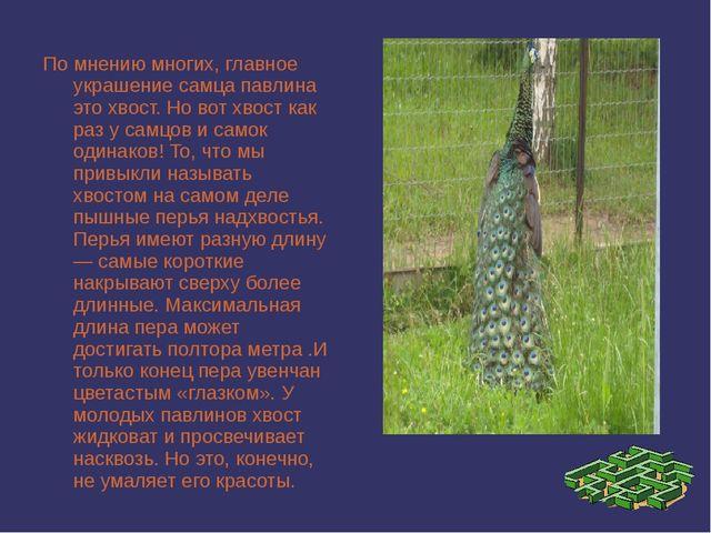 По мнению многих, главное украшение самца павлина это хвост. Но вот хвост как...