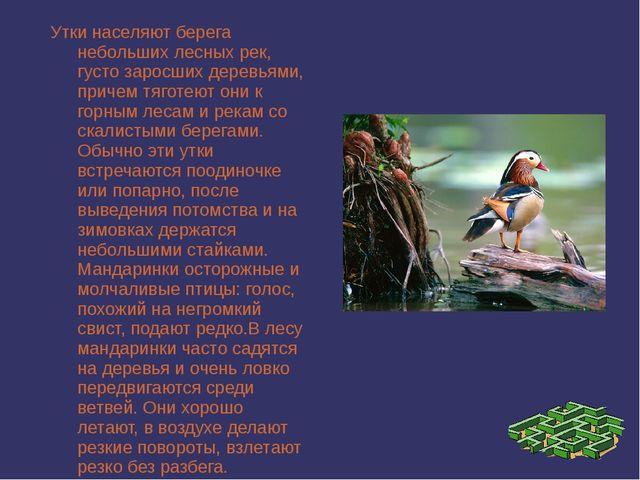 Утки населяют берега небольших лесных рек, густо заросших деревьями, причем т...