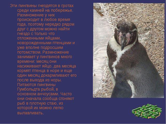 Эти пингвины гнездятся в гротах среди камней на побережье. Размножение у них...
