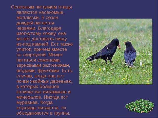 Основным питанием птицы являются насекомые, моллюски. В сезон дождей питаетс...