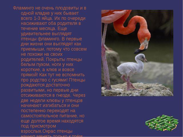 Фламинго не очень плодовиты и в одной кладке у них бывает всего 1-3 яйца. Их...