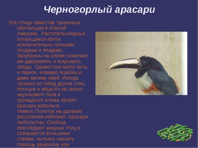 Черногорлый арасари Эта птица семества тукановых, обитающая в Южной Америке....