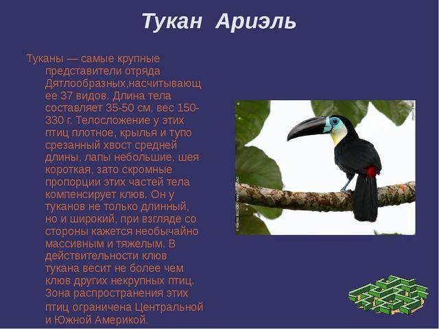 Тукан Ариэль Туканы — самые крупные представители отряда Дятлообразных,насчит...