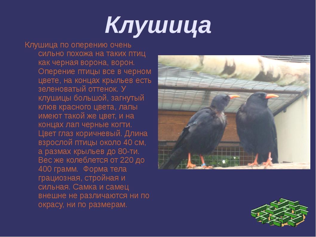 Клушица Клушица по оперению очень сильно похожа на таких птиц как черная воро...