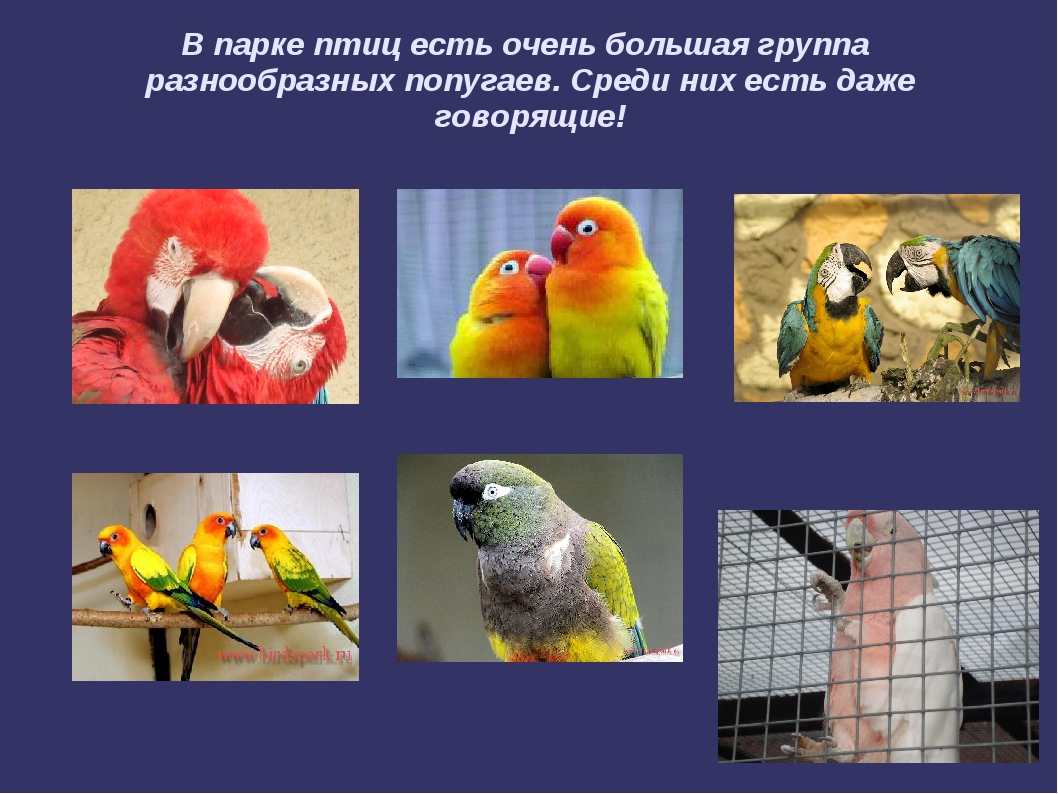 В парке птиц есть очень большая группа разнообразных попугаев. Среди них есть...