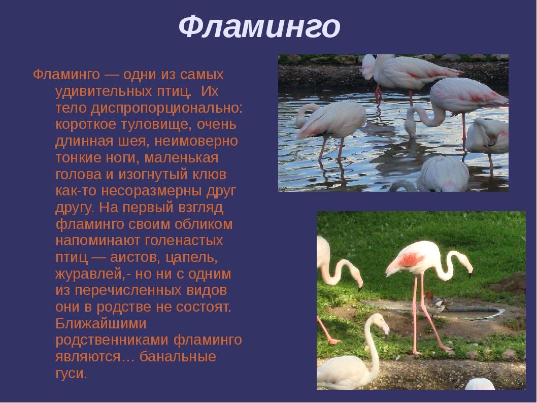 Фламинго Фламинго — одни из самых удивительных птиц. Их тело диспропорциональ...