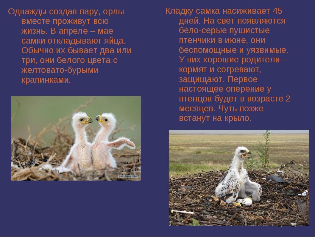 Однажды создав пару, орлы вместе проживут всю жизнь. В апреле – мае самки отк...