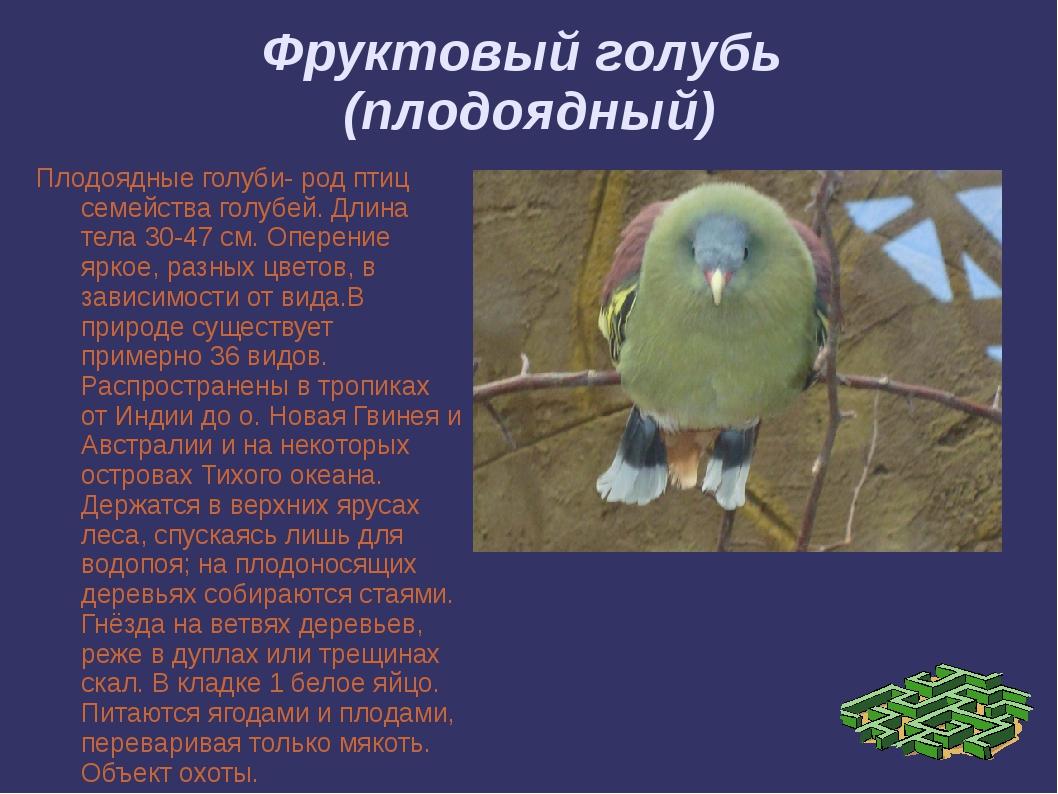 Фруктовый голубь (плодоядный) Плодоядные голуби- род птиц семейства голубей....