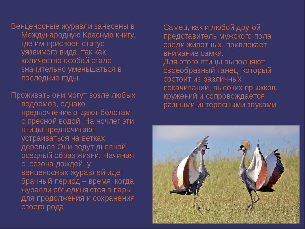 Венценосные журавли занесены в Международную Красную книгу, где им присвоен с...