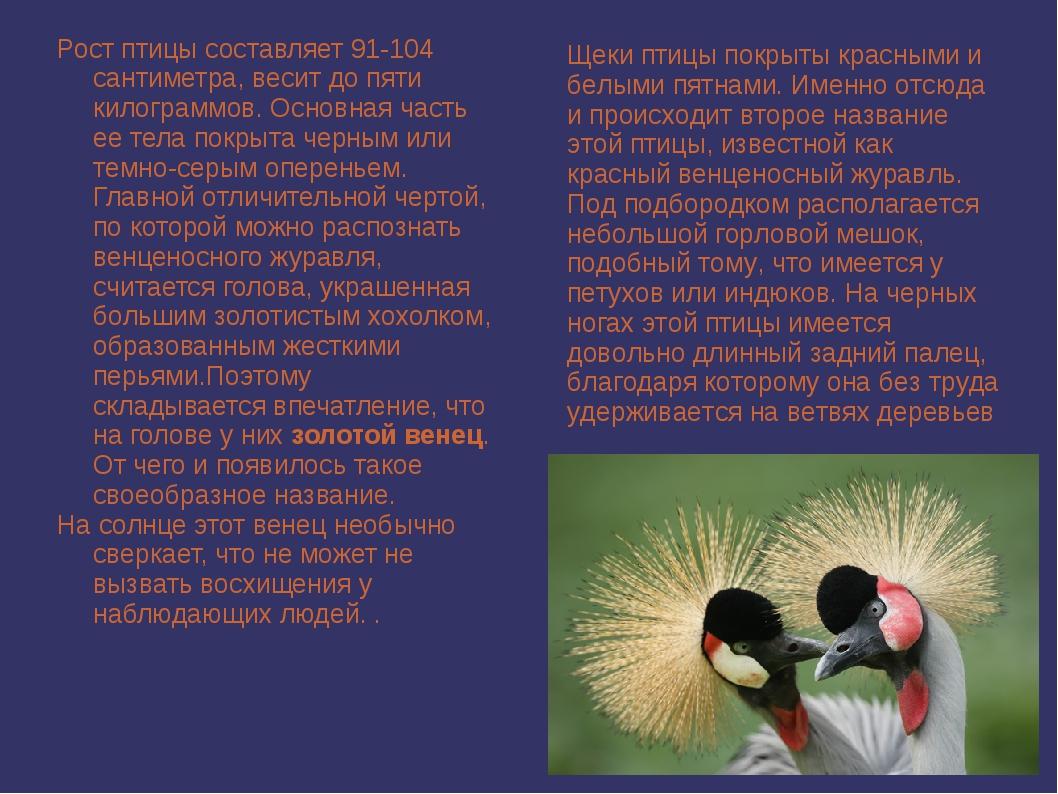 Рост птицы составляет 91-104 сантиметра, весит до пяти килограммов. Основная...
