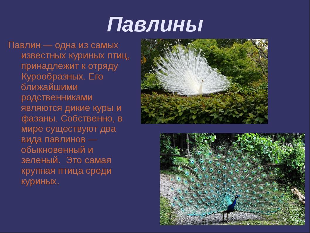 Павлины Павлин — одна из самых известных куриных птиц, принадлежит к отряду К...