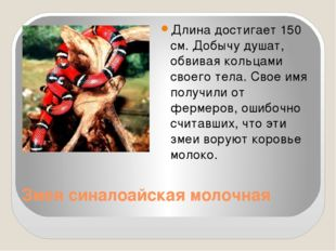 Змея синалоайская молочная Длина достигает 150 см. Добычу душат, обвивая коль
