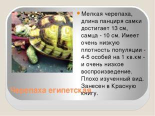 Черепаха египетская Мелкая черепаха, длина панциря самки достигает 13 см, сам