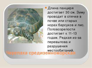Черепаха средиземноморская Длина панциря достигает 30 см. Зиму проводит в спя