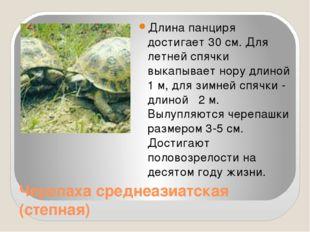 Черепаха среднеазиатская (степная) Длина панциря достигает 30 см. Для летней