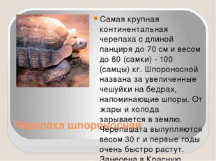 Черепаха шпороносная Самая крупная континентальная черепаха с длиной панциря