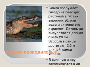 Кайман крокодиловый Самка сооружает гнездо из гниющих растений в густых зарос