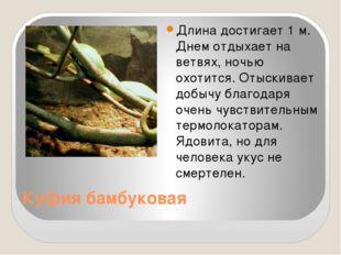 Куфия бамбуковая Длина достигает 1 м. Днем отдыхает на ветвях, ночью охотится