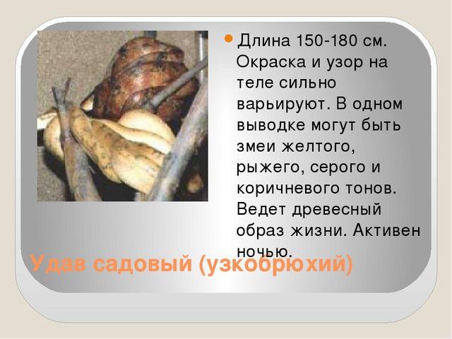 Удав садовый (узкобрюхий) Длина 150-180 см. Окраска и узор на теле сильно вар...