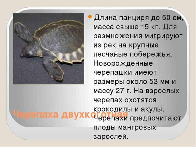 Черепаха двухкоготная Длина панциря до 50 см, масса свыше 15 кг. Для размноже...
