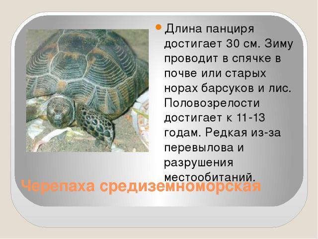 Черепаха средиземноморская Длина панциря достигает 30 см. Зиму проводит в спя...
