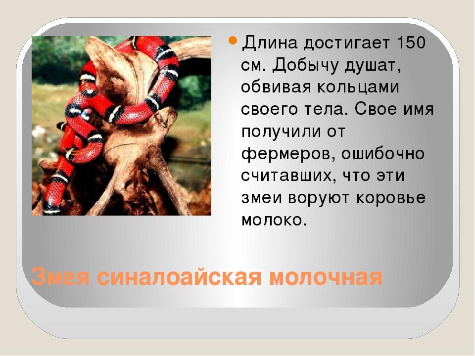 Змея синалоайская молочная Длина достигает 150 см. Добычу душат, обвивая коль...