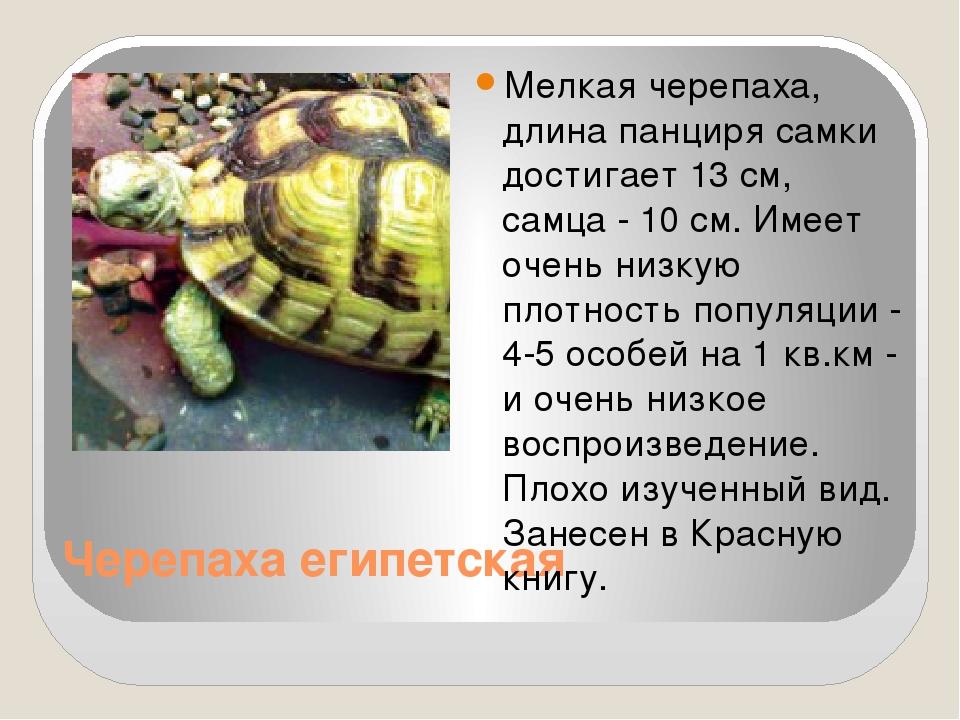 Черепаха египетская Мелкая черепаха, длина панциря самки достигает 13 см, сам...