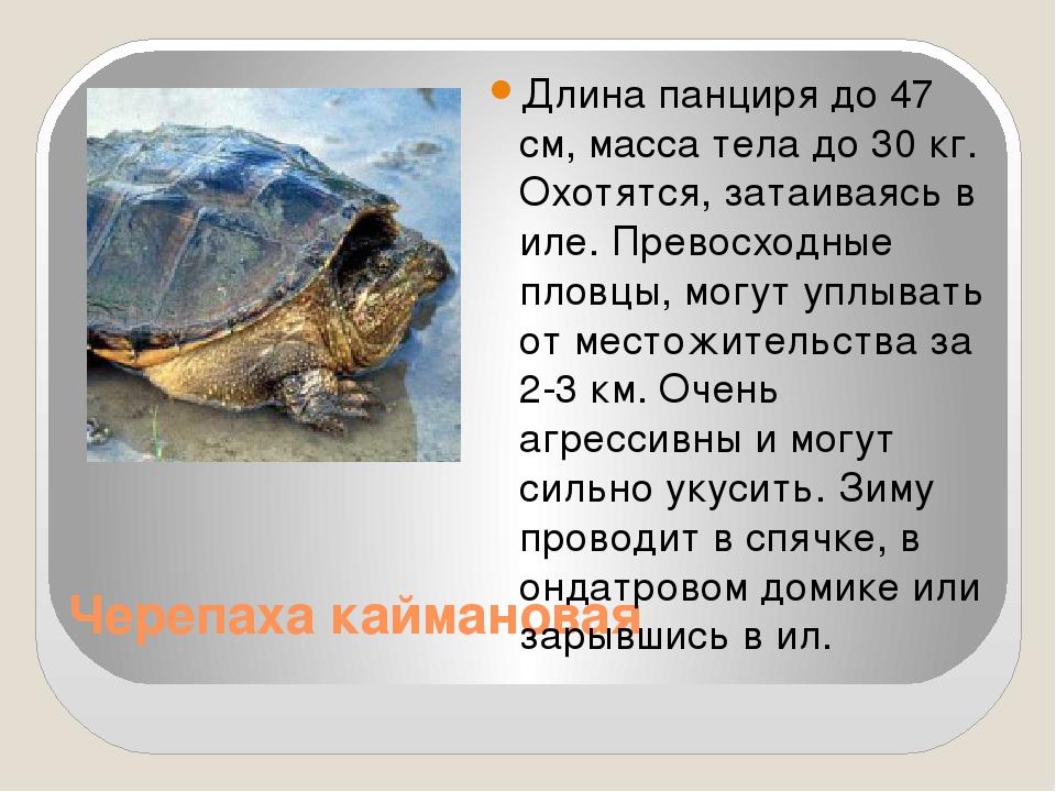 Черепаха каймановая Длина панциря до 47 см, масса тела до 30 кг. Охотятся, за...