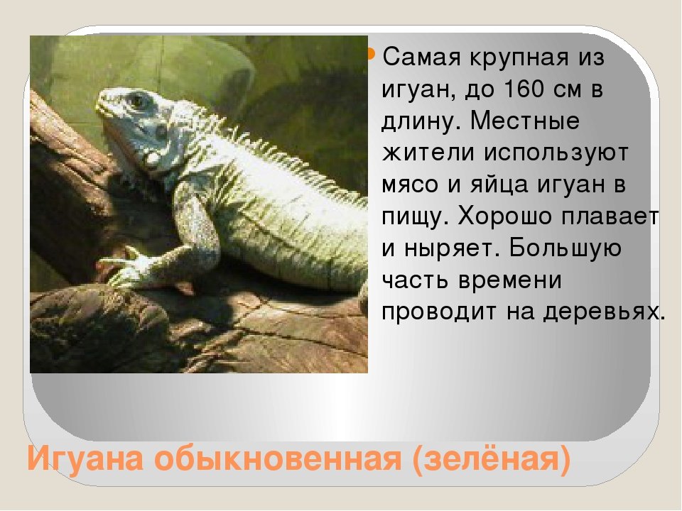 Игуана обыкновенная (зелёная) Самая крупная из игуан, до 160 см в длину. Мес...