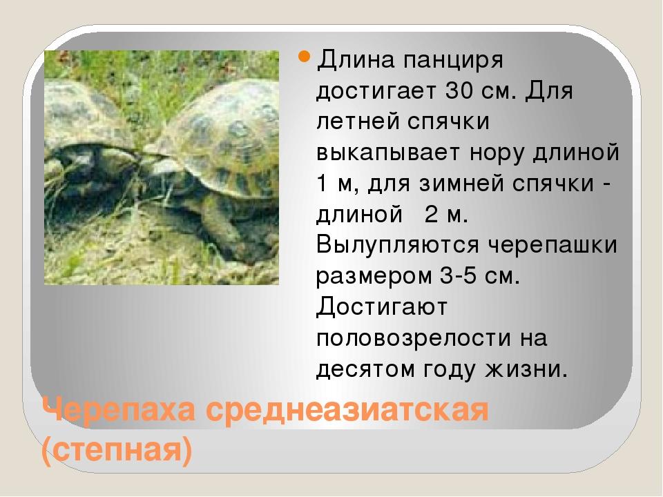 Черепаха среднеазиатская (степная) Длина панциря достигает 30 см. Для летней...