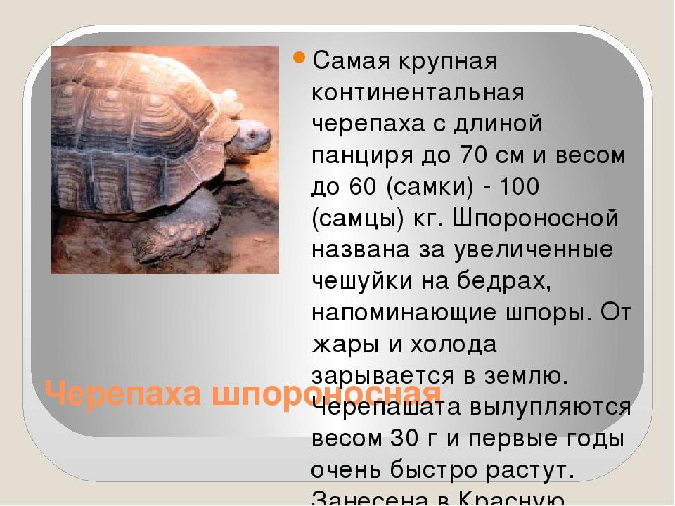 Черепаха шпороносная Самая крупная континентальная черепаха с длиной панциря...