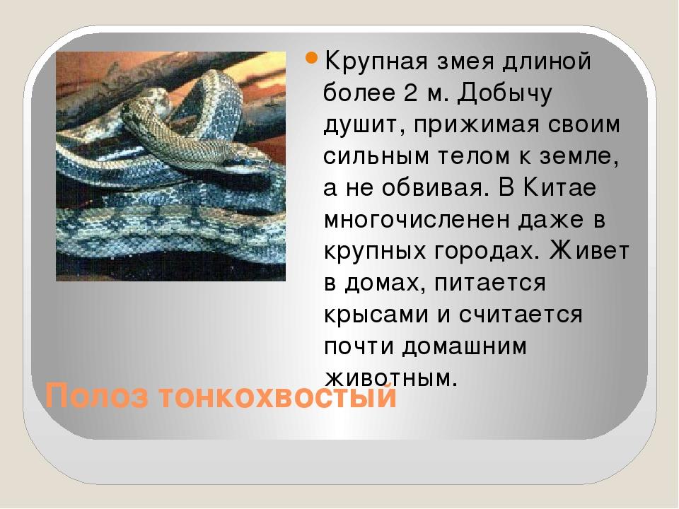 Полоз тонкохвостый Крупная змея длиной более 2 м. Добычу душит, прижимая сво...
