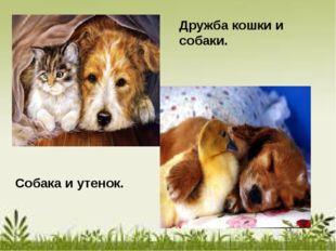 Дружба кошки и собаки. Собака и утенок.