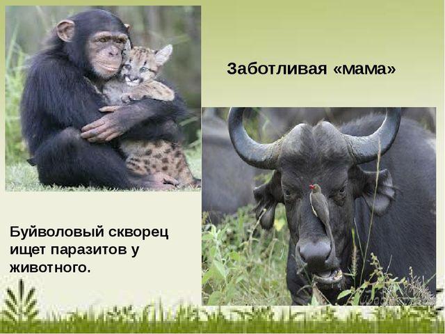 Заботливая «мама» Буйволовый скворец ищет паразитов у животного.