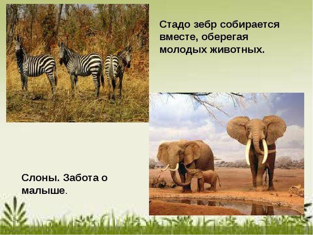 Слоны. Забота о малыше. Стадо зебр собирается вместе, оберегая молодых живот...